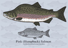 Pink Humpback Salmon - Vector illustration Stock Images