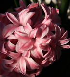 Pink Hyacinth Stock Photo