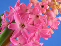 Pink hyacinth Royalty Free Stock Images