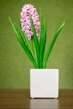 Pink hyacinth Royalty Free Stock Photo