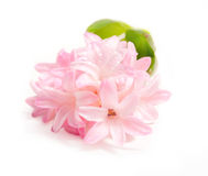 Pink hyacinth. On white background Royalty Free Stock Photos