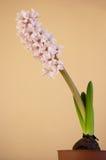 Pink hyacinth. Pink blooming hyacinth in flowerpot Stock Photo