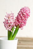 Pink hyacinth. Flower close-up Royalty Free Stock Image