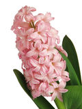Pink hyacinth. On white background Royalty Free Stock Photo