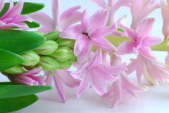 Pink hyacinth Royalty Free Stock Images