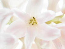 Pink hyacinth Stock Photos