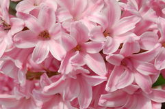 Pink hyacinth. Background Royalty Free Stock Images