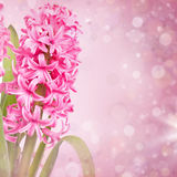 Pink hyacinth Stock Photos