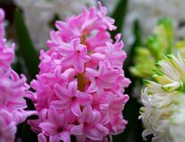 Pink Hyacinth Amethyst flower Stock Photos