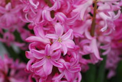 Pink Hyacinth Amethyst flower Royalty Free Stock Image