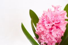Pink hyacinth background. Pink hyacinth isolated with white background Royalty Free Stock Images