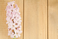 Pink hyacinth on the background planks Royalty Free Stock Photo
