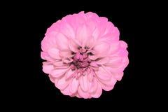 Pink hyacinth Stock Image