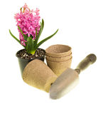 Pink Hyacinth in bloom with pots and trowel Royalty Free Stock Photography