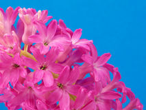 Pink hyacinth on blue Royalty Free Stock Images