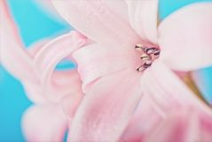 Pink hyacinth on blue Royalty Free Stock Photography