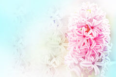 Pink Hyacinth with blur background Stock Photography