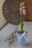 Pink hyacinth in a bucket Royalty Free Stock Image