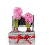 Pink Hyacinth bulb flowers Stock Images