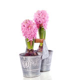 Pink Hyacinth bulb flowers Royalty Free Stock Photo