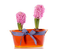 Pink Hyacinth bulb flowers Royalty Free Stock Images