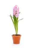 Pink hyacinth Stock Photography