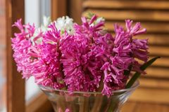 Pink hyacinth in a clear vase on the window Stock Photos