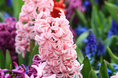 Pink hyacinth. Close up of a pink hyacinth Stock Photos