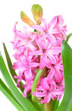 Pink hyacinth closeup Royalty Free Stock Images