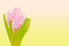 Pink hyacinth on colored background. With copy space Royalty Free Stock Photos