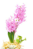 Pink hyacinth in decorated flower pot, close-up, isolated Royalty Free Stock Image