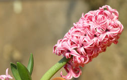 Pink hyacinth flower Royalty Free Stock Photos