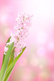 Pink hyacinth flower Stock Photos