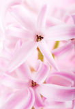 Pink hyacinth flower Royalty Free Stock Image