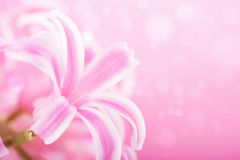 Pink hyacinth flower background Royalty Free Stock Photography