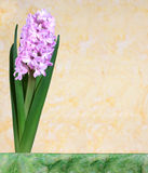 Pink hyacinth flower blossoms in the spring on a yellow background Royalty Free Stock Photography