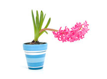 Pink hyacinth flower in blue pot Royalty Free Stock Photo