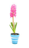 Pink hyacinth flower in blue pot Stock Images