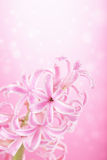 Pink hyacinth flower Royalty Free Stock Photography