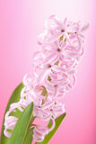Pink hyacinth flower Stock Images