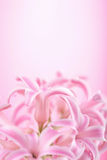 Pink hyacinth flower Stock Image