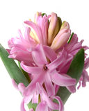 Pink hyacinth flower detail Stock Photos