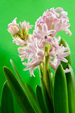Pink hyacinth Flower. With green background royalty free stock image