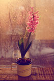 Pink hyacinth flower on old wooden window-sill in sunset lights Stock Photo
