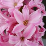 Pink hyacinth flower Royalty Free Stock Images