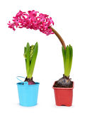 Pink hyacinth in flower pot Royalty Free Stock Images