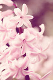 Pink hyacinth flower in spring garden in vintage color tone Royalty Free Stock Photos