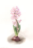 Pink hyacinth flower watercolor painting. The hand drawn watercolor of a pink hyacinth Stock Photography