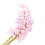 Pink hyacinth flower on white Stock Photography