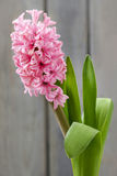 Pink hyacinth flower on wooden background Royalty Free Stock Images